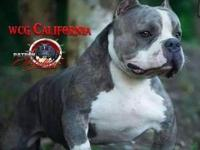This beautiful pup is 5 months old. His dam is blue and