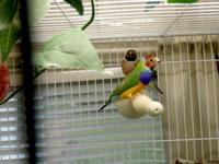 I have a proven pr of gouldian finches and a female