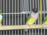 I have a few gouldian finches left for sale. Currently