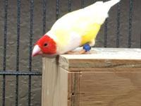 I have a young pair of yellow back gouldian finches for