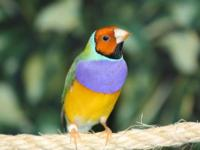 I have 6 beautiful young gouldian finches for sale,
