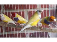 Gouldian finches available for sale. Green back $65
