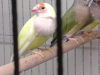 society finches pied and crested $10. gouldian finches