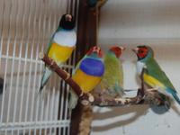 Young just colored Gouldian Finches. Assorted colors.