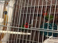 Gouldian finches for sale all diff colors $55 each And