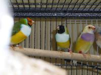 I have pairs of gouldians and a number of blackheaded