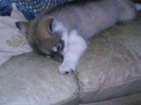 Very sweet and good dog. Purebreed Siberian Husky. Is
