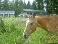 bucky is a 6 year old appendix gelding. wonderful horse