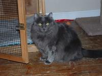 Medium hair Female  GREY  3/4 yrs; She is a Big girl