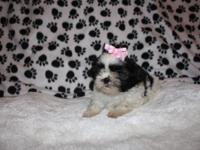 Gracie is a Cute, Adorable Female Puppy for sale. Her
