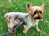 Gracie's story Gracie is a beautiful Yorkshire Terrier