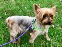 Gracie is a beautiful Yorkshire Terrier who is looking