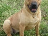 Gracie is a two year old, female Shepherd/Pitbull mix.