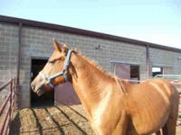 Grade - A123077 - Large - Adult - Female - Horse
