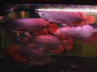 Top quality Grade A Asian Arowana fishes from genuine