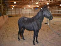 Grade - Bentley - Large - Adult - Male - Horse Bentley