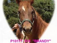Grade - Brandy - Medium - Young - Female - Horse Name: