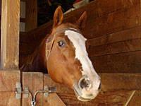Grade - Ginger - Medium - Senior - Female - Horse