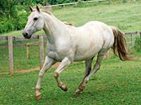 Grade - Partly Cloudy - Small - Adult - Male - Horse