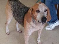 Meet Grams an 8 yr English coonhound. She has spent