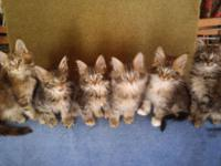 Tortoiseshell and brown classic tabby females. Four