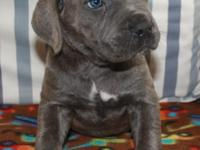 Welcome to Blue Ridge Cane Corso. Blue and black