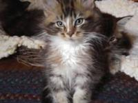 Brown classic tabby with white kitten. Very friendly,