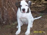 NKC and ABRA Registered Purebred American Bulldog