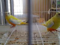 Yellow grass parakeets turquisine male and female if