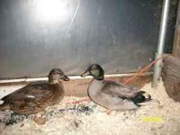 have several pair these ducks are show quality. and