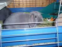 Gray lop eared female,young, friendly,inside only