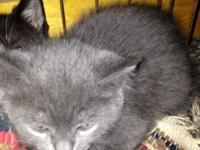 Gray Kitten Male. 8 weeks old. Ready to become part of