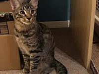 Grayson's story Grayson is a Male, 6 month old, DSH