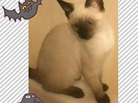 My story Grayson is an adorable Siamese mix. He is fun,