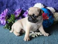 grdt AKC registered Fawn Pug Puppies for sale. If you