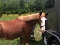 For sale or lease haflinger Arabian cross filly 4 years