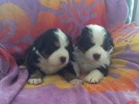 These puppies are an outstanding Registered Hybrid