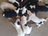 Beautiful Dane puppies, will be very large with big