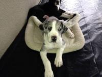 Great Dane Female Puppy Left She is a merle with white