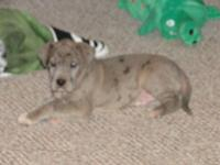 TERRIFIC DANE PUP, AKC MALE, MERLE, WILL BE 8 WEEKS AND