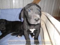 Great Dane puppies! 2 Black Males, 2 Black Females