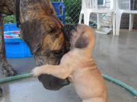 We have 1 Female Great Dane AKC left of a litter of 9,