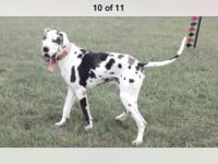 I have a three-year-old Harlequin blue-eyed great dane