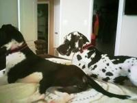 Beautiful great dane puppy looking for forever home ,