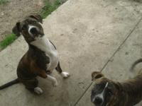 Hi I have some Great Boxer Pits male and female 8 weeks
