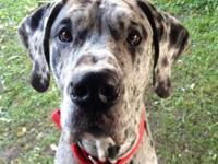 I have a male blue Merle Great Dane I have to discover
