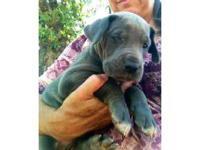 Great Dane - Bruno - Medium - Young - Male - Dog Hey