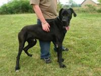 Great Dane - Danny Boy - Extra Large - Young - Male -