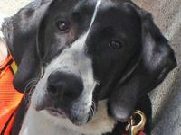 Great Dane - Denny - Large - Young - Male - Dog Online