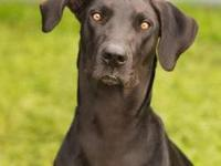 Great Dane - Eclipse - Extra Large - Young - Female -